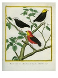 Golden-Headed Manakin, White-Crowned Manakin and Crimson-Hooded Manakin Giclee Print by Georges-Louis Buffon