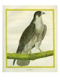 Falcon Giclee Print by Georges-Louis Buffon