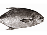 Pompano (Jack Fish) Photographic Print by Enrique Chavarria