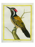 Streak-Throated Woodpecker Giclee Print by Georges-Louis Buffon