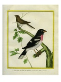 Grosbeak Weaver and Rose Breasted Grosbeak Reproduction procédé giclée par Georges-Louis Buffon