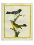 Timor Figbird and Great Grey Shrike Giclee Print by Georges-Louis Buffon