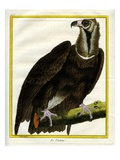 Vulture Giclee Print by Georges-Louis Buffon