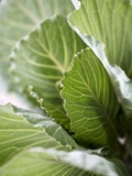 Cabbage in the Field Photographic Print by Frank Tschakert