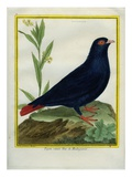 Madagascar Blue Pigeon Giclee Print by Georges-Louis Buffon