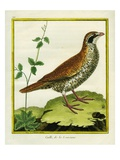 Louisiana Quail Reproduction procédé giclée par Georges-Louis Buffon