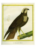 Marsh Harrier Giclee Print by Georges-Louis Buffon