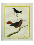White-Plumed Antbird And Giclee Print by Georges-Louis Buffon