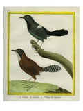 Coraya Wren and Black-Throated Antbird Giclee Print by Georges-Louis Buffon