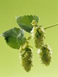 Sprig of Hops Photographie par Ludger Rose
