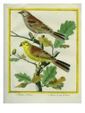 Yellowhammer and Savannah Sparrow Giclee Print by Georges-Louis Buffon