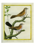 Ortolan Bunting and Ortolan Bunting from the Cape of Good Hope Giclee Print by Georges-Louis Buffon
