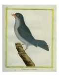 Grey-Winged Cotinga Giclee Print by Georges-Louis Buffon