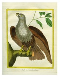 Bald Eagle Giclee Print by Georges-Louis Buffon