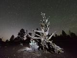 Night Sky and Ponderosa Pine, Sunset Crater National Monument, Arizona, USA Photographic Print by Christian Heeb