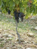 Merlot Grapes on the Vine (France) Photographic Print by Roger Stowell
