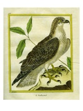 Osprey Giclee Print by Georges-Louis Buffon