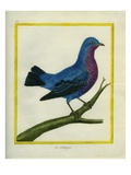 Cotinga Giclee Print by Georges-Louis Buffon