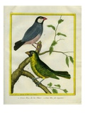 Yellow-Billed Grosbeak and Yellow-Green Grosbeak Giclee Print by Georges-Louis Buffon