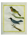 Black-Throated Shrike-Tanager and Black-Crested Antshrike Giclee Print by Georges-Louis Buffon