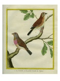 Linnet and Little Vine Linnet Giclee Print by Georges-Louis Buffon