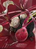 Beetroot with Soil Photographic Print by Karl Newedel