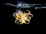 An Octopus in Water Photographic Print by Hermann Mock