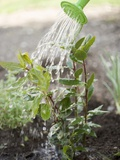Watering Bay Plant Photographic Print