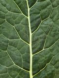 Cabbage Leaf Fotografisk tryk af Greg Elms