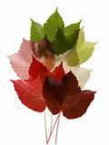 Colorful Virginia Creeper Leaves Photographic Print by Bodo A. Schieren