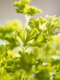 Curly Parsley Photographic Print