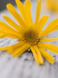 Arnica Flower Photographic Print