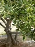 Olivenbaum Fotodruck von  Rogge & Jankovic