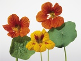 Nasturtium Flowers Photographic Print