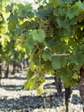 White Wine Grapes on the Vine Photographic Print by Peter Rees