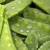 Mangetout with Drops of Water Photographic Print by Chris Schäfer