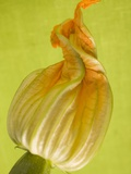 Courgette Flower Photographic Print