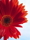 Red Gerbera Photographic Print by Dieter Heinemann