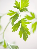 Fresh Parsley Photographic Print by Malgorzata Stepien