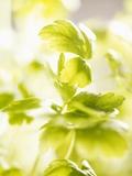 Flat-Leaf Parsley Photographic Print