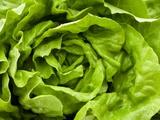 Fresh Lettuce Fotografisk tryk af Greg Elms