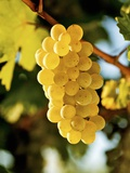 Ripe White Wine Grapes on Vine (Grüner Veltliner, Lower Austria) Photographic Print by Herbert Lehmann