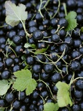 Blackcurrants with Leaves Photographic Print by Marc O. Finley