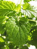 Lemon Balm Photographic Print by Petr Gross
