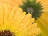 Yellow Gerbera with Drops of Water Photographic Print by Chris Schäfer