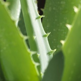 Aloe Vera Leaves Photographic Print by Alexander Feig