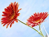 Two Red Gerberas Against Sky-Blue Background Photographic Print by Dieter Heinemann