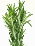 Fresh Rosemary Photographic Print by Steven Morris