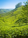 A Tea Plantation in Munnar, Kerala, India Photographic Print by Andrew Pini