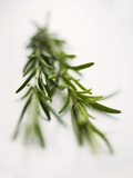Two Sprigs of Rosemary Photographic Print